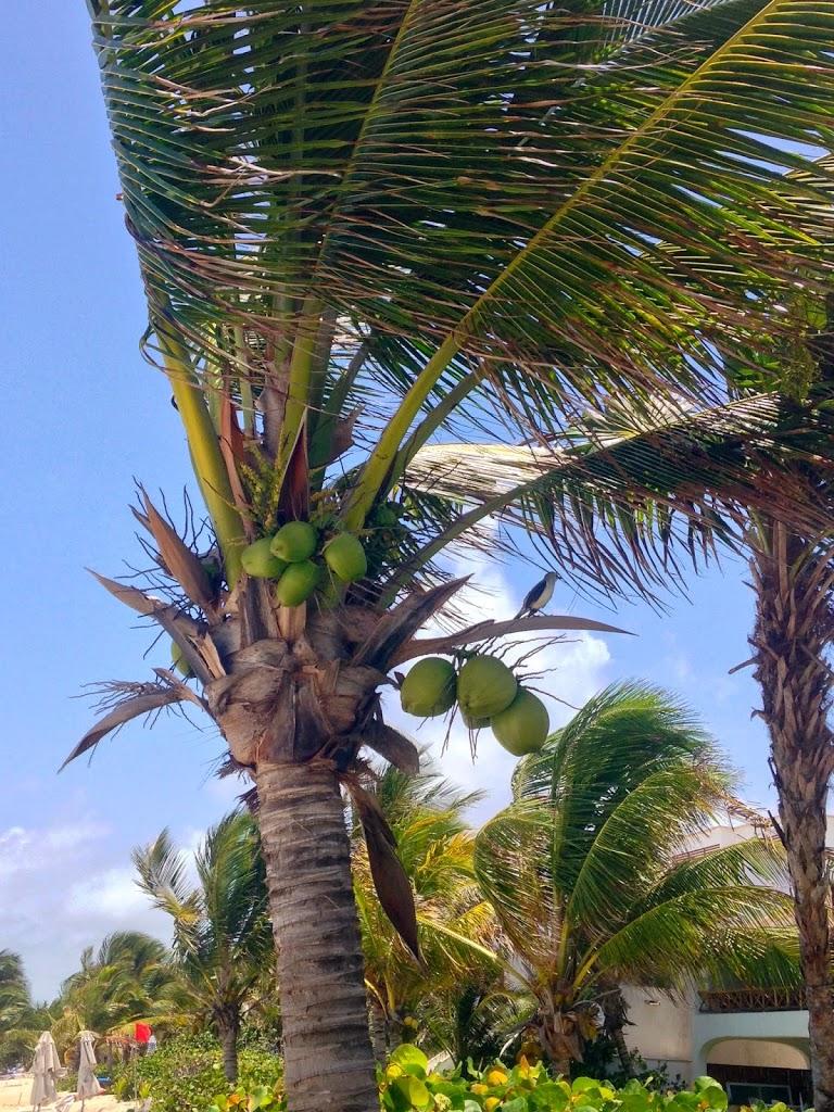Coconut tree in Tulum Mexico