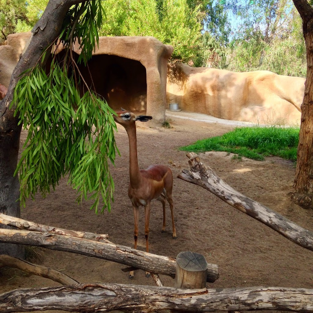 Cute baby gerenuk or fawn at the San Diego Zoo