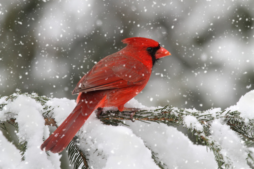 Gorgeous red cardinal Bird in Snow Storm